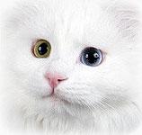 Weiße Katze, odded eyed, (c) Uwe Grötzner, fotolia.com