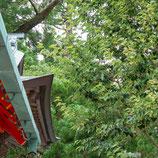妙法山の菩提樹