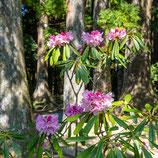 妙法山のホンシャクナゲ  Rhododendron japonoheptamerum var. hondoense