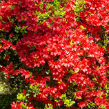 妙法山のクルメツツジ  Rhododendron obtusum