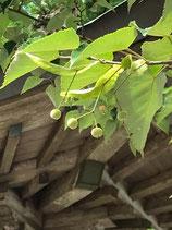 妙法山の菩提樹の実