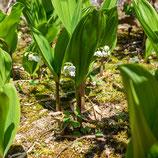 妙法山のスズラン  Convallaria majalis