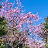 妙法山の枝垂れ桜(シダレザクラ)