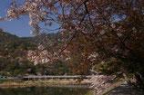 春の京都市嵐山渡月橋風景上大迫博撮影