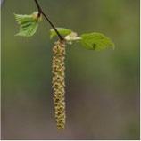 Naturheilpraxis Ralf Drevermann Hamm - Krankheit: Pollenallergie - Birke