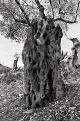 Totholz Alter Olivenbaum Mallorca