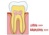 bouw van een tand (L5-6) OL
