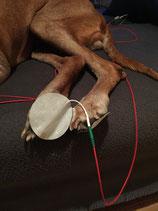 Elektroden an Hundepfoten