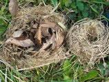 左:ホオジロの巣?   右:カヤネズミの巣?