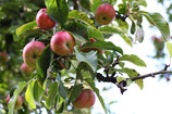 NABU - Apfel