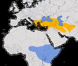 Karte zur Verbreitung der Maskenschafstelze (Motacilla flava feldegg) weltweit.