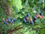 みつばち農園で採れた冷凍ブルーベリー<1kg>