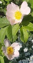 Rosa pseudoscabriuscula (KELLER) (HENK. & SCHUL.) - Kratz-Rose - Rosier en peu scabre - Rosa scabretta - False harsh Downy-Rose
