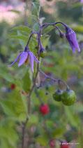 Solanum dulcamara (L.) - Bittersüsser Nachtschatten - Douce-Amère - Morella Rampicante- Bittersweet Nightshade