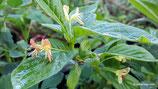 Lonicera alpigena (L.) - Alpen-Heckenkirsche - Chèvrefeuille des alpes - Camecèraso  - Alpine honeysuckle