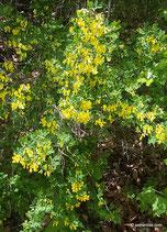 Colutea arborescens (L.) - Gewöhnlicher Blasenstrauch - Baguenaudier arborescent - Vescicaria / Senna nostrale - Bladder-senna