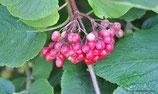 Viburnum lantana (L.) - Wolliger Schneeball - Viorne lantane, Viorne mancienne - Lentaggine - Wayfaring tree