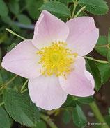 Rosa inodora (FRIES) - Duftarme Rose - Rosier inodore - Rosa a odore debole - Inodora Rose