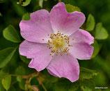Rosa jundzillii (BESSER) - Jundzills-Rose - Rosier de Jundzill - Rosa di Jundzill - Large-leaved Rose