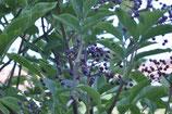 Sambucus nigra (L.) - Schwarzer Holunder - Grand Sureau où Sureau noir - Sambuco nero - European black elder
