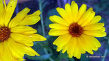 Calendula officinalis (L.) - Garten-Ringelblume - Souci officinal - Calendola - Marigold