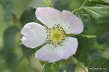 Rosa tomentella (LEMAN) - Flaum-Rose - Rosier à feuilles obtuses - Rosa a foglie ottuse - Round-leaved Dog Rose
