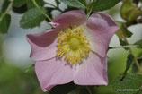 Rosa elliptica (TAUSCH) - Duft-Rose - Rosier à feuilles elliptiques - Rosa a foglie ellittiche - Elliptical-leaf Rose