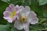 Rosa caesia (SM.) - Lederblättrige Rose - Rosier à feuilles coriaces - Rosa a foglie coriacee, Rosa bluastra - Hairy Dog Rose