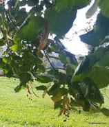 Tilia platyphyllos Scop. - Sommer-Linde - Tilleul à grandes feuilles - Tiglio nostrano - Large-leaved limee