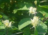 Lonicera xylosteum (L.) - Rotes Geissblatt / Rote Heckenkirsche - Chèvrefeuille des haies - Caprifoglio peloso  - Fly Honeysuckle