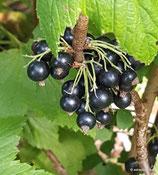 "Ribes nigrum ""Müli""- Schwarze Johannisbeere ""Müli""- Le cassissier ""Müli""- Ribes nero ""Müli""- Blackcurrant ""Müli"""