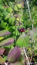 Lonicera periclymenum (L.) - Wald-Geissblatt - Chèvrefeuille des bois - Gisilòstio  - Honeysuckle