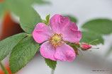 Rosa majalis (HERRM.) - Zimt-Rose - Rosier cannelle - Rosa cannella - Cinnamon Briar, Rose of May