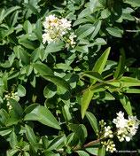 Ligustrum vulgare (L.) - Gewöhnlicher Liguster - Troène communs - Ligustro  - Wild privet
