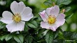 Rosa agrestis (SAVI) - Acker-Rose - Rosier agreste - Rosa delle siepi - Small-leaved Sweet-briar