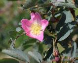 Rosa glauca ssp. gutensteinensis (JACQUIN FIL.) - Gutensteiner Rose - Rosier de Gutenstein - Rosa di Gutenstein