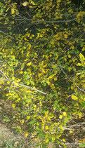 Salix aurita L - Ohr-Weide - Saule à oreillettes - Salice aurita -  Eared Willow