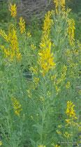 Genista tinctoria (L.) - Färber-Gingster - Genêt des teinturiers - Ginestra minore - Dyer's greenweed