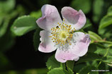 Rosa subcanina (CHRIST) - Fast Hundsrose - Faux Rosier des chiens - Falsa Rosa canina - False Dog Rose