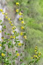Berberis vulgaris (L.) - Gemeine Berberitze - Epine-vinette - Crespino comune - Common barberry