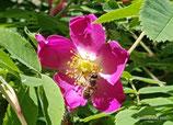 Rosa pendulina (L.) - Alpen-Hagrose - Rosier des Alpes - Rosa alpina - Drooping Rose