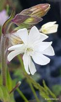 Silene latifolia (POIR.) - Weisse Lichtnelke - Le Compagnon blanc - Silene bianca  -  White Campion