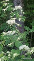 Sorbus aucuparia (L.) - Vogelbeere / Eberesche - Sorbier des oiseleurs - Sorbo degli uccellatori - Rowan