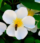 Rosa arvensis (HUDSON) - Feld-Rose - Rosier des champs - Rosa cavallina - Field Rose
