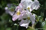 Rosa canina (L.) - Hundsrose - Eglantier - Rosa selvatica comune - Rose briar