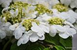 Viburnum opulus (L.) - Gewöhnlicher Schneeball - Viorne obier  - Oppio, Palle di neve - Guelder-Rose