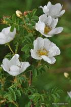 Rosa spinosissima (L.) - Bibernell-Rose - Rosier à feuilles de boucages - Rosa di macchia - Burnet Rose