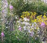 Sedum album (L.) - Weisse-Fetthenne - L'Orpin blanc - Borracina bianca - White stonecrop