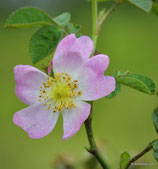 Rosa gremlii (CHRIST) - Gremli-Rose - Rosier de Gremli - Rosa gremlii - Gremli Rose