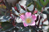 Rosa glauca (POURRET) - Bereifte Rose - Rosier glauque - Rosa paonazza - Red-leaf Rose